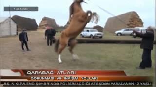 getlinkyoutube.com-Qarabağ atlarının inkışafına xüsusi diqqət
