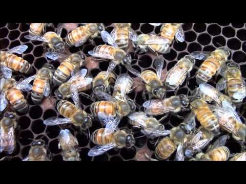 How honey bees are born into the world. HD video.