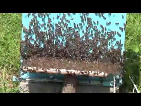 Sakupljanje pčelinjeg otrova