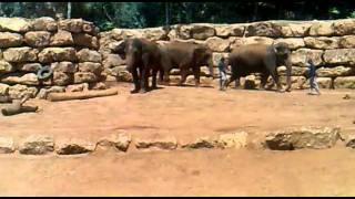 אילוף פילים בגן החיות התנכי ירושלים קיץ 2011