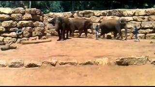 getlinkyoutube.com-אילוף פילים בגן החיות התנכי ירושלים קיץ 2011