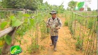 เกษตรยุคใหม่ การปลูกถั่วฝักยาว