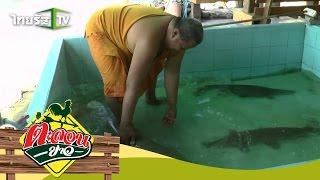 getlinkyoutube.com-ตะลอนข่าว | พระเลี้ยงปลาจระเข้ จ.ฉะเชิงเทรา | 09-08-58 | 2/3