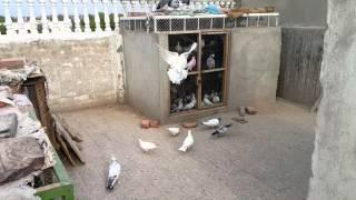getlinkyoutube.com-Highflying pigeons Hyderabad Pakistan ( Hamad Ahmed )