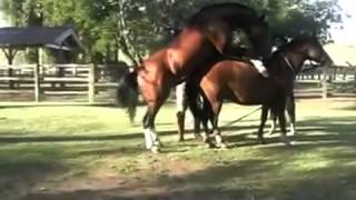 getlinkyoutube.com-Horse mating - animal mating - reproduction des animaux