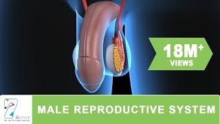 getlinkyoutube.com-THE  MALE REPRODUCTIVE SYSTEM OF HUMAN