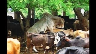 getlinkyoutube.com-Mating Ongole bull, powerful, doing 8 times in 15 minutes.avi