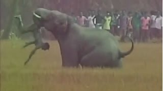 getlinkyoutube.com-Elephant Throws Man Like a TOY in Burdwan, Watch Shocking Video