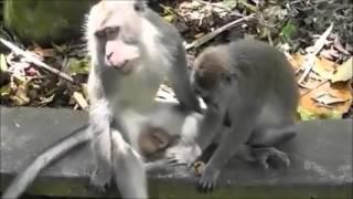 Un maimuțoi indiferent