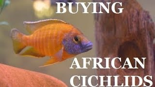 getlinkyoutube.com-GUIDE TO BUYING AFRICAN CICHLIDS Part 1 Presented by KGTropicals