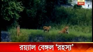 ;Family' of  Royal Bengal tiger in Sunderban