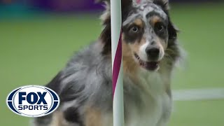 getlinkyoutube.com-Watch Australian Shepherd, Holster, Win 2016 Masters Agility Championship