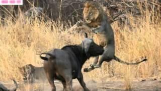 getlinkyoutube.com-Thế Giới Động Vật Hoang Dã-Cuộc Chiến sinh tử Giữa  Trâu và SƯ TỬ(Lion vs Buffalo).