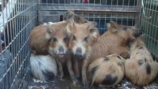 getlinkyoutube.com-Hog Trap 25: When its Hot, Hogs!!!