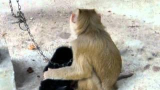 getlinkyoutube.com-ขำกลิ้งลิงเลี้ยงลูกหมาจากนครศรีฯ