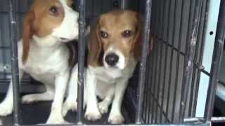 getlinkyoutube.com-Summer Of Freedom - 38 Beagles Rescued!