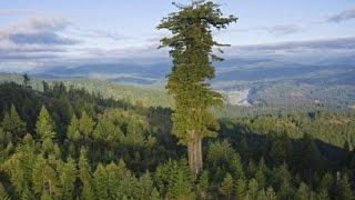 getlinkyoutube.com-17 BIGGEST Trees in the World