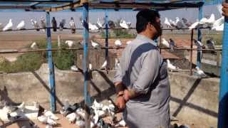 getlinkyoutube.com-Indian Pigeon Khalid Z Saiyd Surat India 2