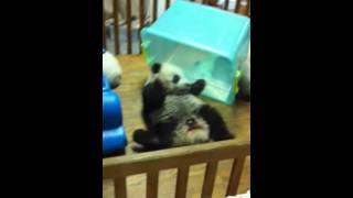 getlinkyoutube.com-Baby panda gets stuck in box!