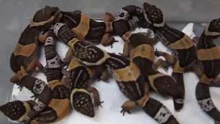 getlinkyoutube.com-Leopard Geckos : SnakeBytesTV