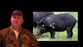 getlinkyoutube.com-HOG HUNTING TIPS WHERE TO SHOOT HOGS