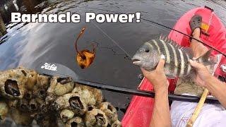 getlinkyoutube.com-Using Barnacles as Bait: Sheepshead Fishing