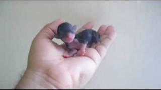 getlinkyoutube.com-Amazing Newborn Teacup Chihuahua - Chihuahua de Bolsillo Recien Nacido