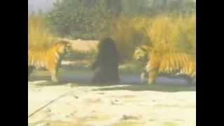 getlinkyoutube.com-Tigres x urso. Dois tigres lutando contra um urso.