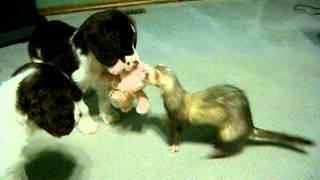 getlinkyoutube.com-Ferret tries to get her toy back from Springer Spaniel