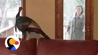 Wild Turkey Refuses to Leave Home, Poses for Police Photos  | The Dodo width=