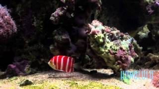 getlinkyoutube.com-The $30,000 Peppermint Angelfish at Waikiki Aquarium