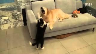 getlinkyoutube.com-ゴールデンレトリバーと猫の喧嘩!