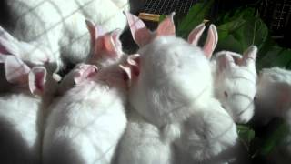 getlinkyoutube.com-Raising New Zealand White Meat Rabbits From Start to Finish 4 Weeks Old