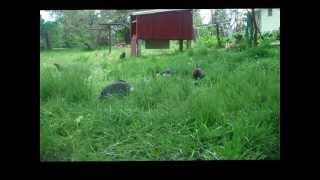 getlinkyoutube.com-Davis Rabbit Tractor 4/2012