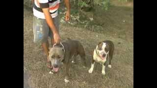 getlinkyoutube.com-หมูปิ้งสุนัขฮีโร่ช่วยตำรวจจับโจร