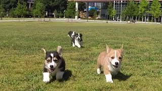 getlinkyoutube.com-GoPro: Corgi Puppies at Georgia Tech