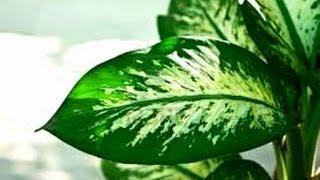 getlinkyoutube.com-Simpatia da planta Comigo ninguém pode pra afastar olho gordo e inveja 11 2337 5792