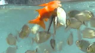 getlinkyoutube.com-Keganasan anak piranha