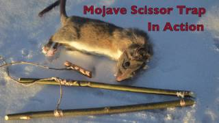 getlinkyoutube.com-Mojave Scissor Survival Trap in Action. Catching and eating Rats.