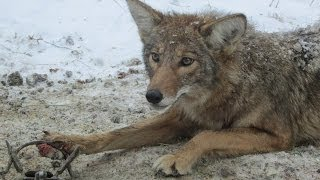 getlinkyoutube.com-Coyote Trapping, Nate Cline shows you how to sturdy your trap in the mud.
