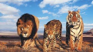انواع النمور في العالم Types of tigers