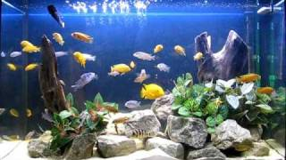 getlinkyoutube.com-Beautiful Cichlid Tank : Part 2