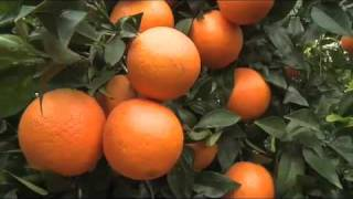 getlinkyoutube.com-Citrus - Orange & Lemon Trees
