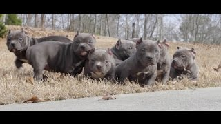 Exotic Bully 2x Miagi pups toll free (844)JB-BULLY www.jbbullies.com