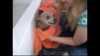 강아지 목욕시키기...대박 웃긴영상 베스트 귀요미들