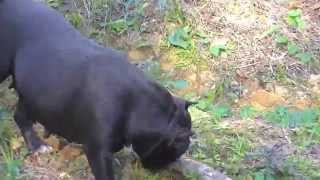 getlinkyoutube.com-Bom Cão American Bully Pax Gottyline x Bala