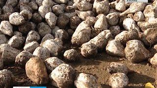 Заводы Кубани завершили переработку свеклы нового урожая
