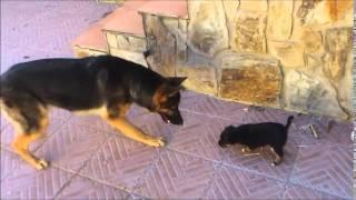 getlinkyoutube.com-Pastor aleman y un cachorro se ven por primera vez