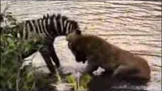 getlinkyoutube.com-National Park - Tiger Attack - Complete Video3