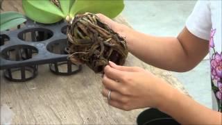 getlinkyoutube.com-AOG Transplanting Phalaenopsis Orchid